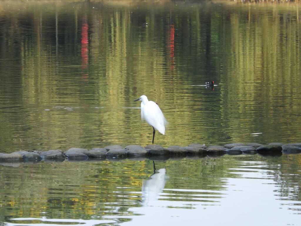 八德埤塘自然生態公園的圖片:埤塘上的白鷺鷥