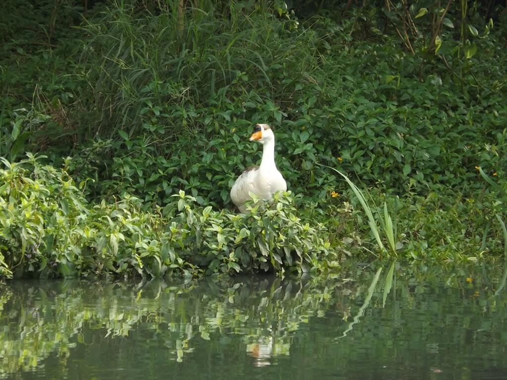 八德埤塘自然生態公園的圖片:埤塘上的大白鵝