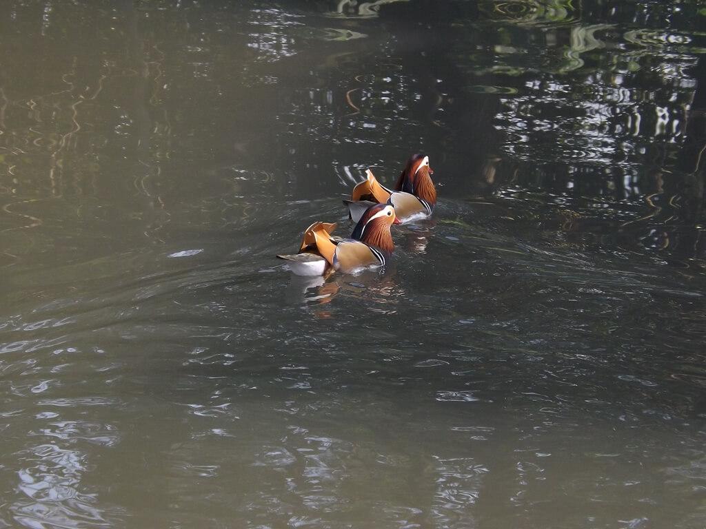 八德埤塘自然生態公園的圖片:埤塘裡的兩隻鴛鴦戲水