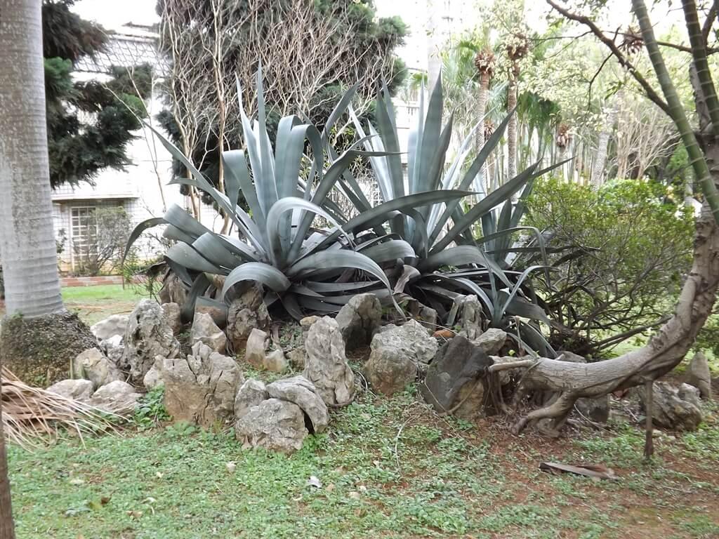 平鎮褒忠祠(義民廟)的圖片:壯碩的蘆薈