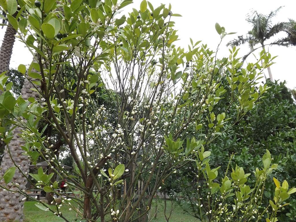 平鎮褒忠祠(義民廟)的圖片:含苞待放的金佶樹