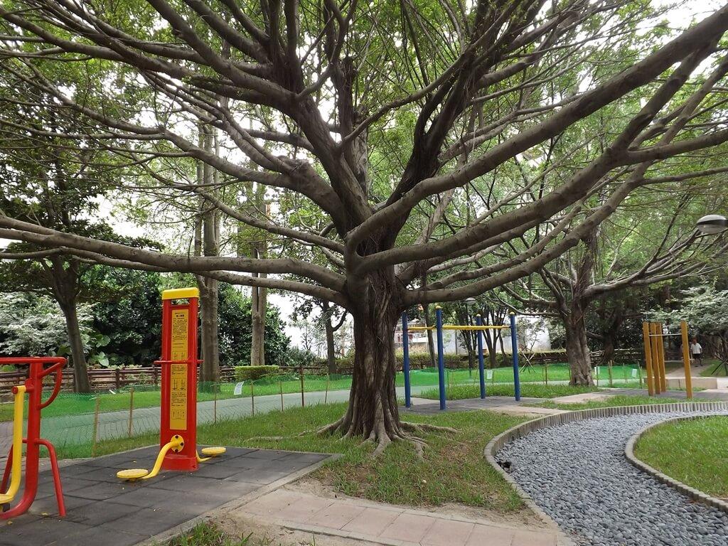 中壢莒光公園的圖片:運動健身區的巨大老榕樹