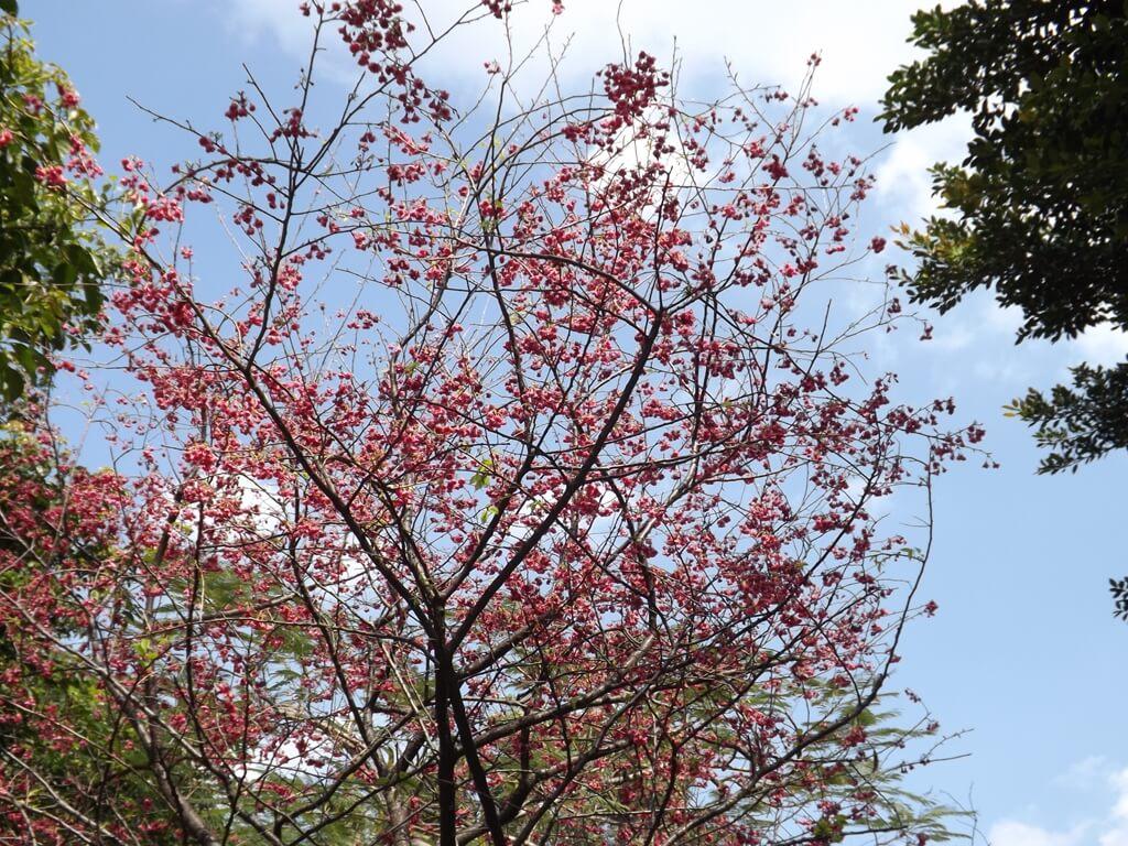 中壢莒光公園的圖片:櫻花盛開是莒光公園每年最美的時刻