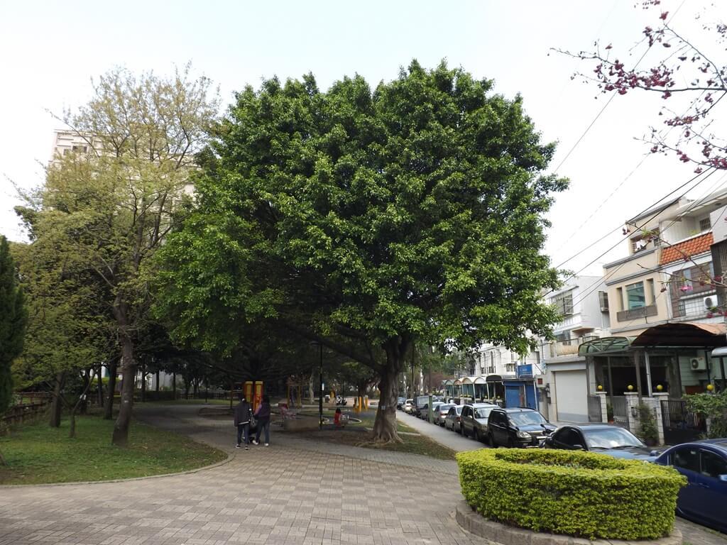 中壢莒光公園的圖片:公園保有很大顆的老松樹