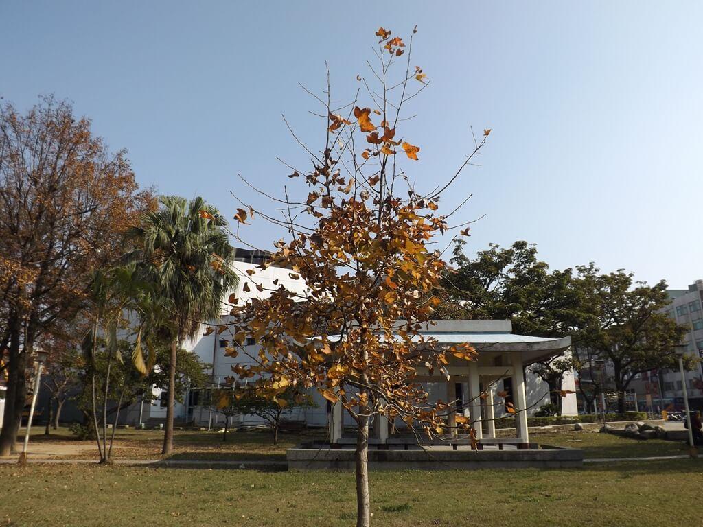 中壢中正公園的圖片:很小棵的楓樹