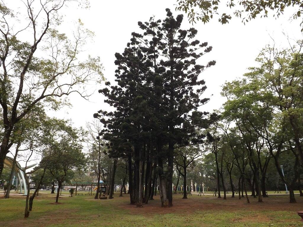 龍岡森林公園的圖片:又直又高聳的樹木