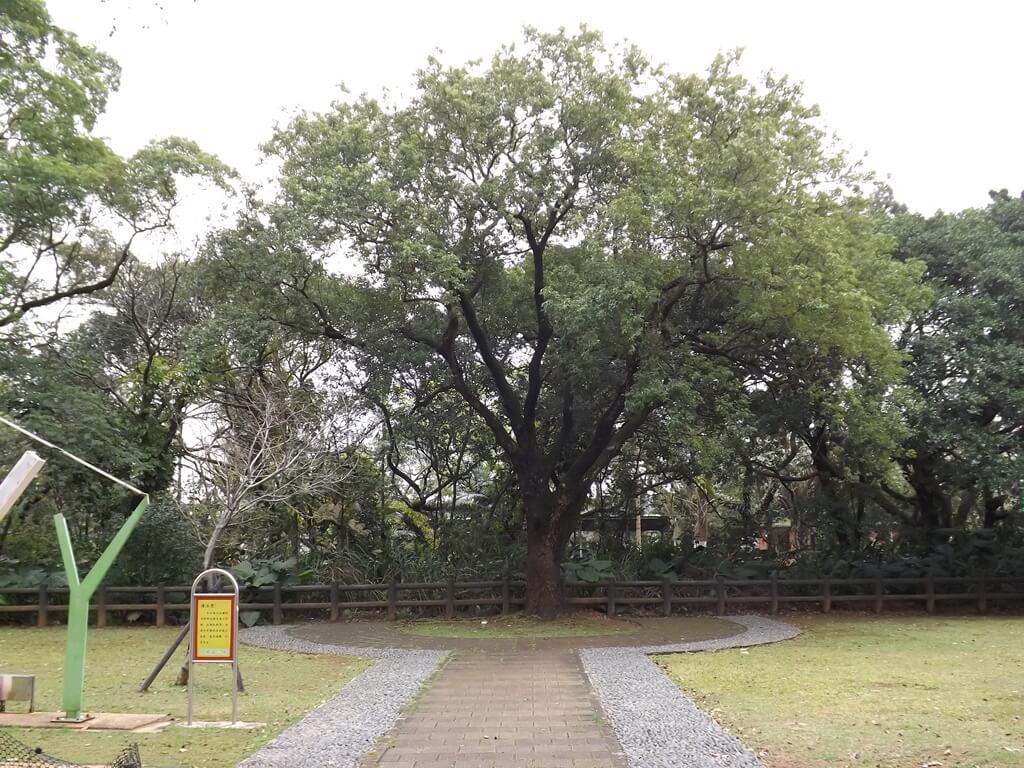龍岡森林公園的圖片:單獨一棵巨大的老黑松樹