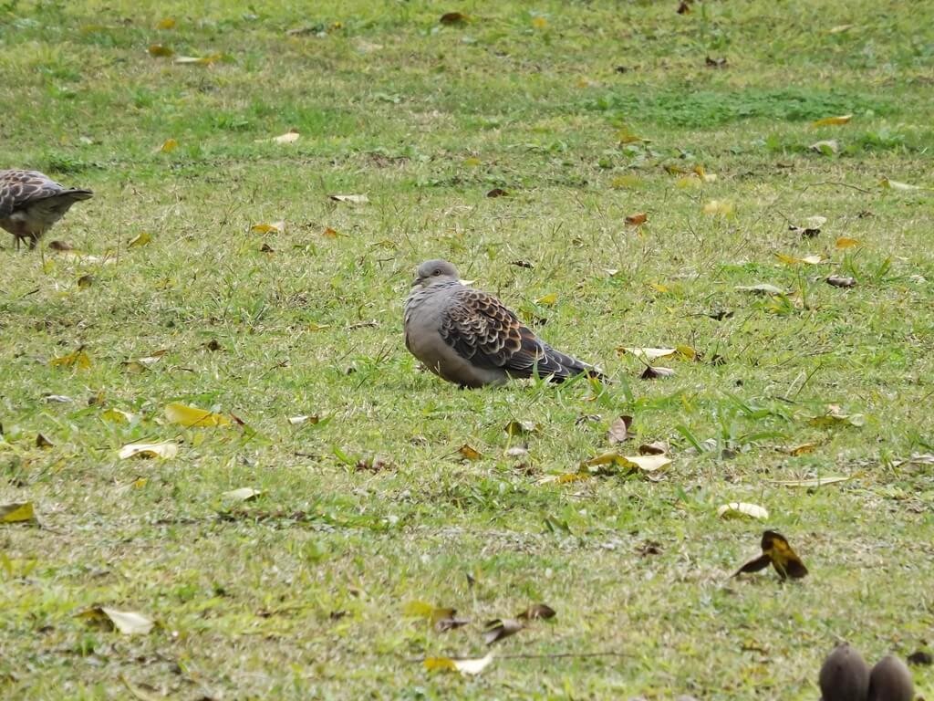 龍岡森林公園的圖片:公園內草地上的鴿子