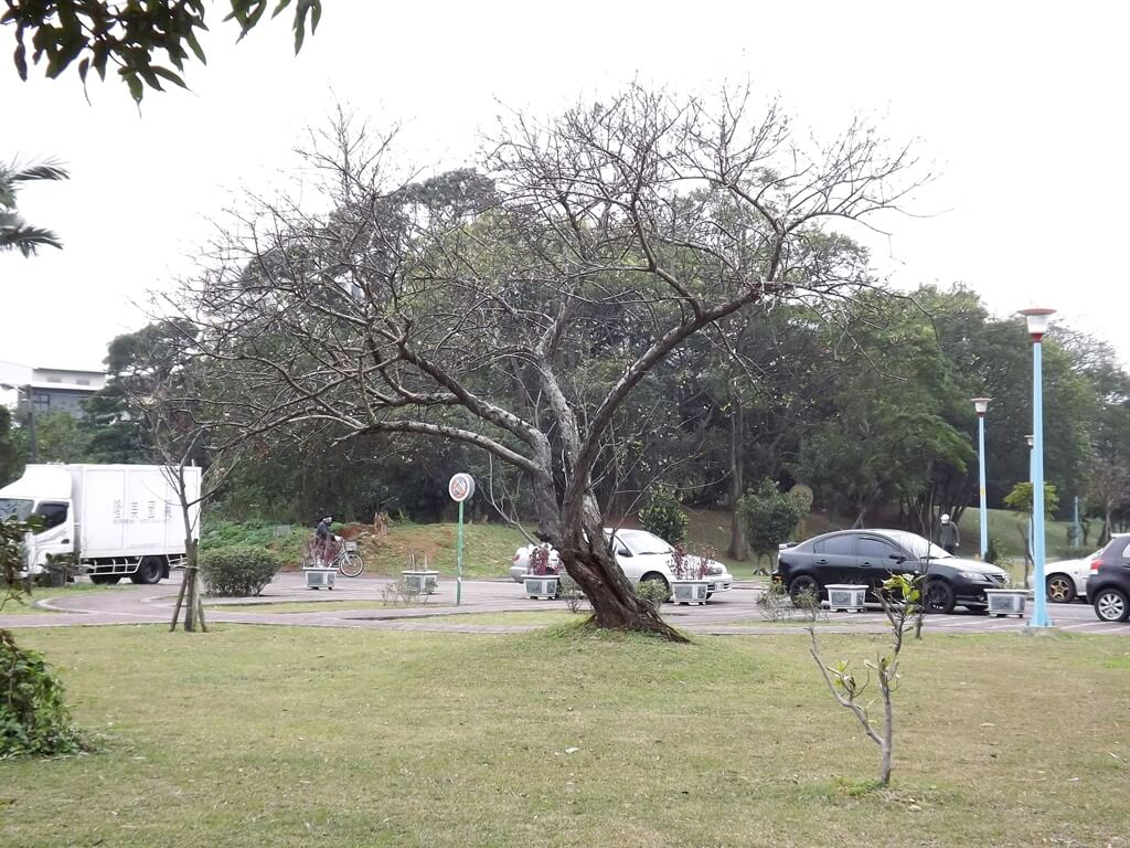 龍岡萬坪公園的圖片:巨大的櫻花樹