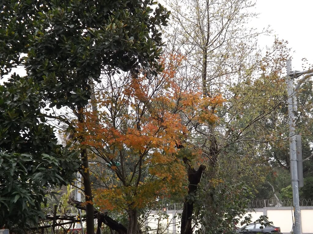 龍岡大操場的圖片:轉紅的楓樹