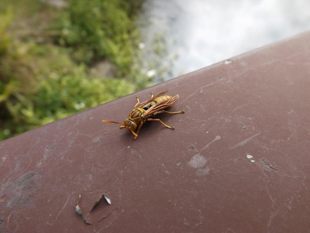 三坑自然生態公園的圖片:乍見黃長腳蜂停留在欄杆上