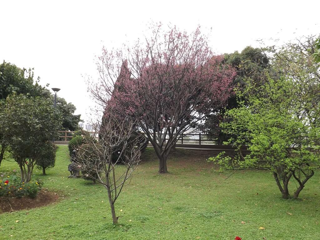 中壢藝術園區的圖片:美麗的大櫻花樹