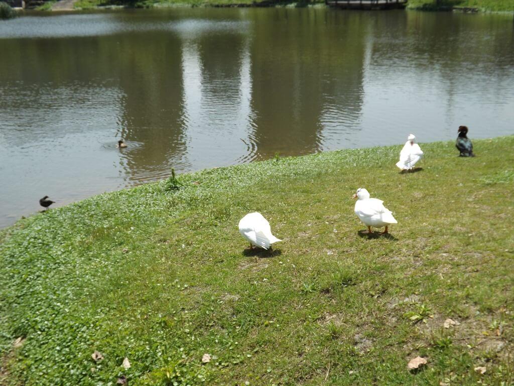 青塘園的圖片:在綠地上的鴨子