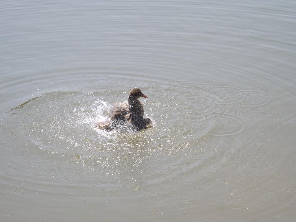 青塘園的圖片:鴨子戲水