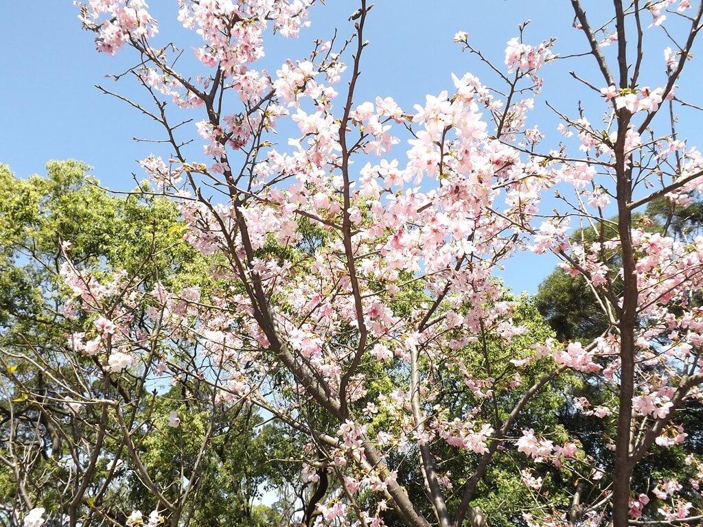 楊梅貴山客家文化公園的圖片:觀音像前的櫻花樹盛開