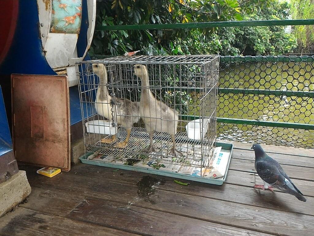 青松農場的圖片:魚池旁的小鴨鴨與鴿子