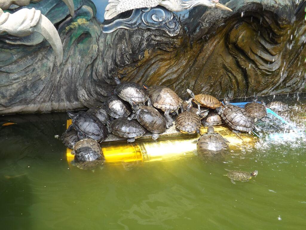 桃園明倫三聖宮的圖片:水池裡的烏龜