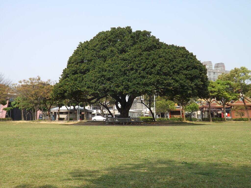 桃園陽明運動公園的圖片:草地上的茂盛大樹
