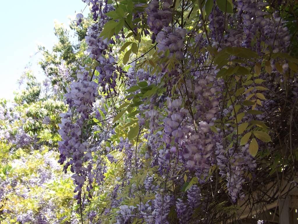 中壢龍德公園的圖片:眾多盛開的紫藤花串