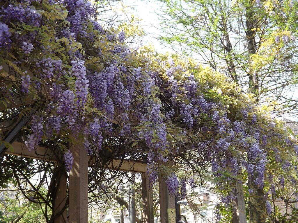 中壢龍德公園的圖片:像是瀑布般的紫藤花串