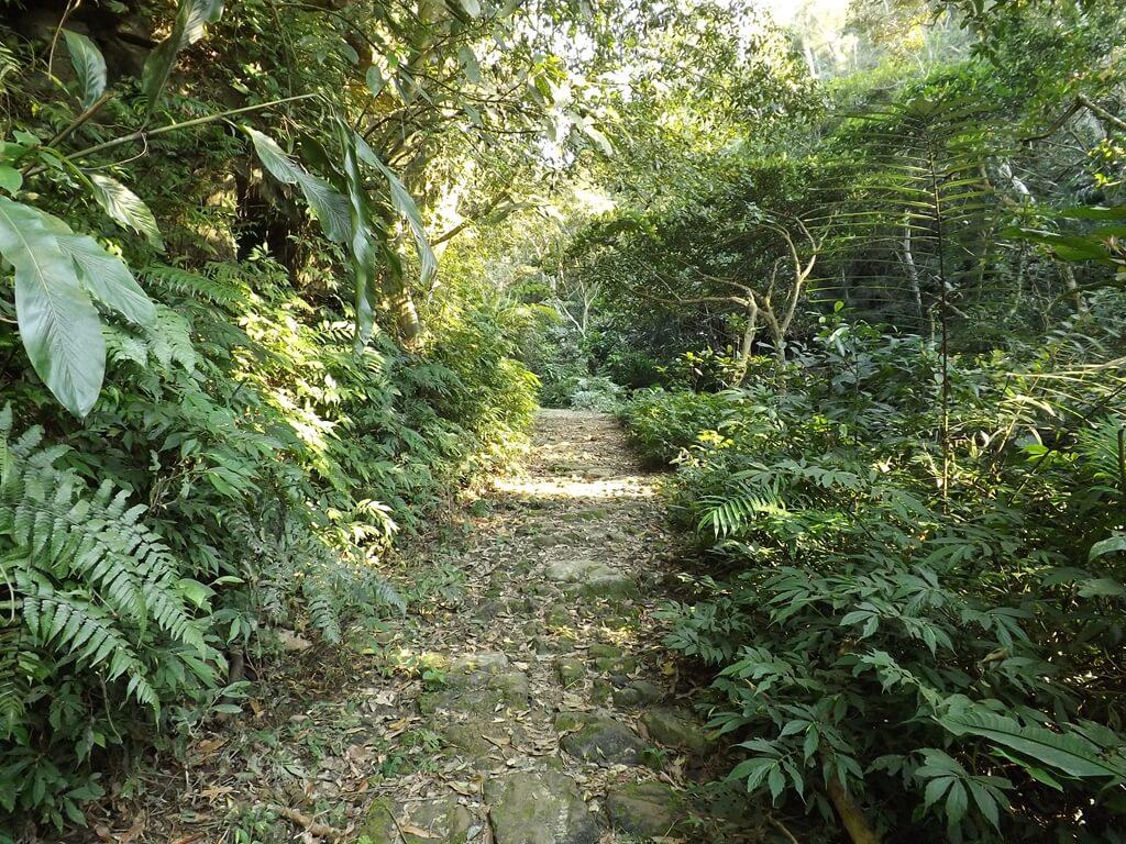 龍潭小粗坑古道的圖片:古道兩側有非常多原始植物