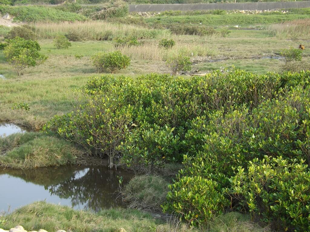 許厝港濕地的圖片:看似草原的濕地