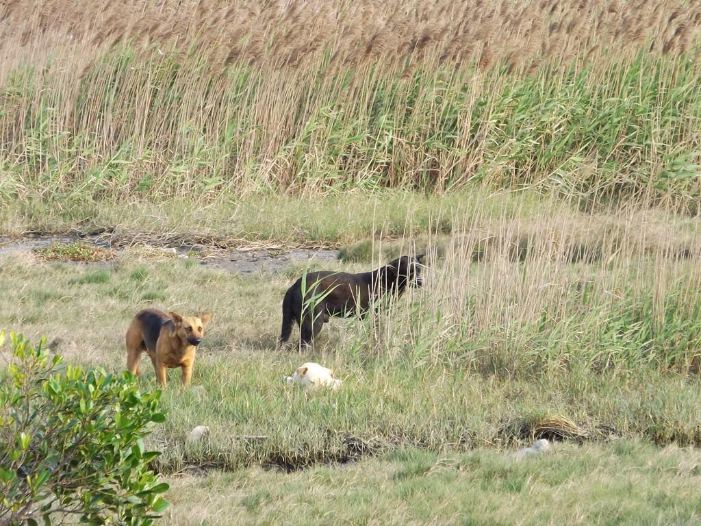 許厝港濕地的圖片:濕地上出現的狗