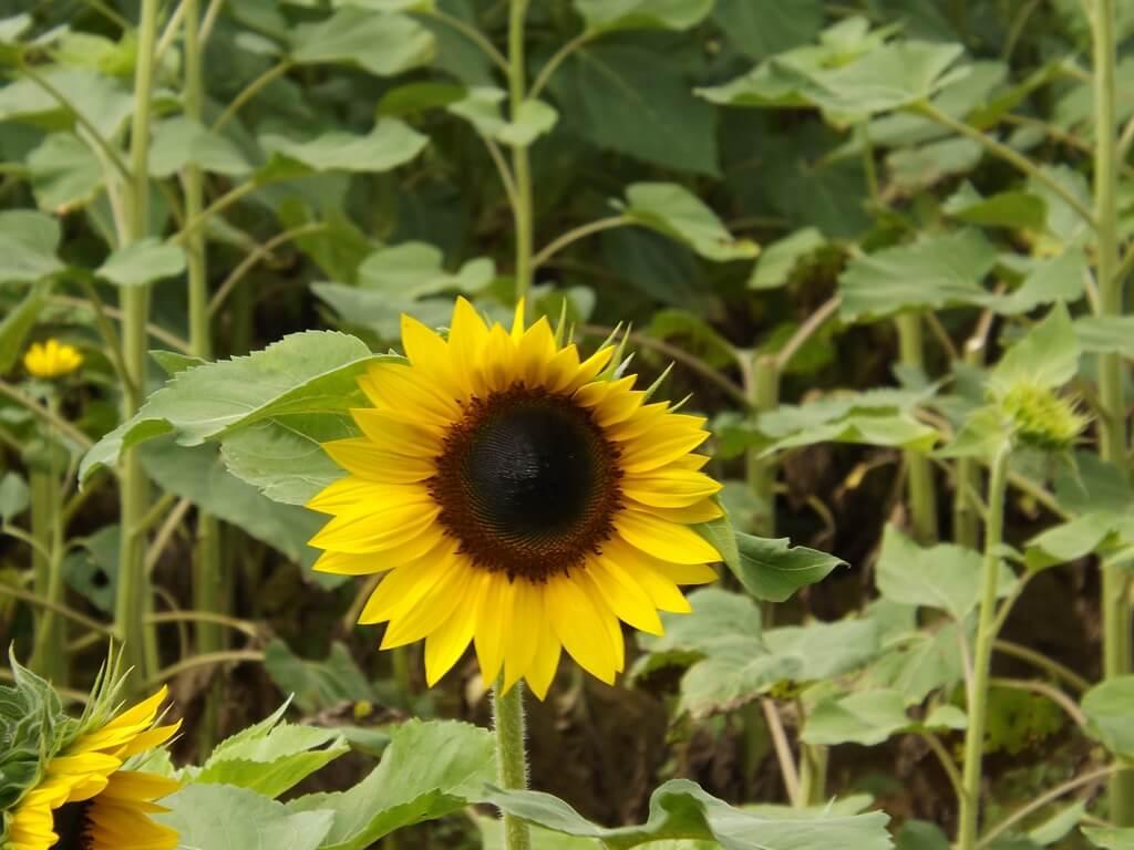 向陽農場的圖片:一朵盛開的向日葵