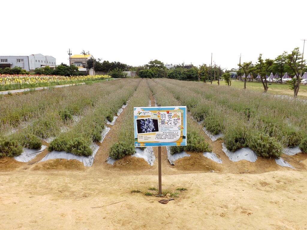 向陽農場的圖片:即將盛開的薰衣草