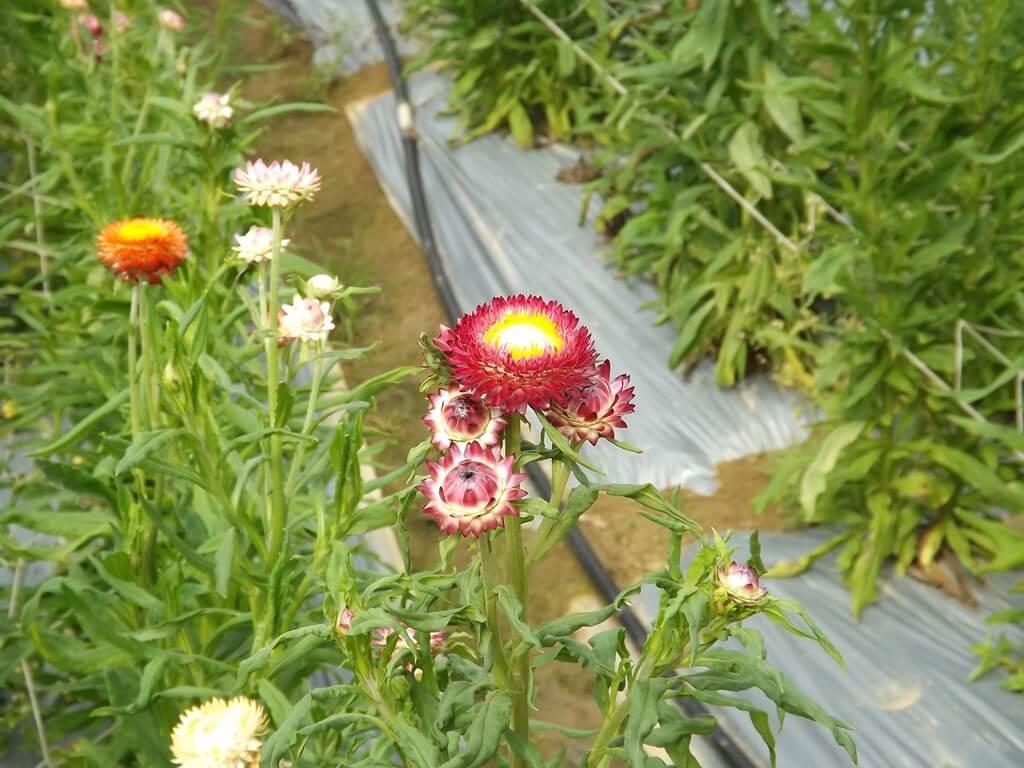 向陽農場的圖片:彩色的麥桿菊