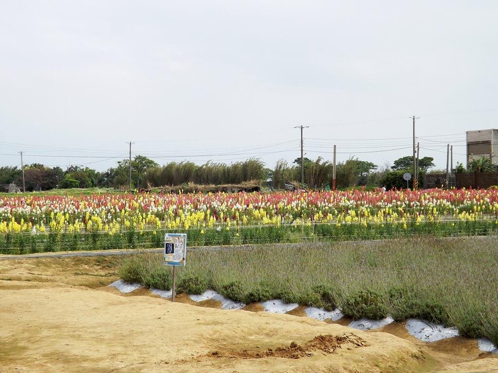 向陽農場的圖片:整片的七彩金魚草田及羽葉薰衣草田