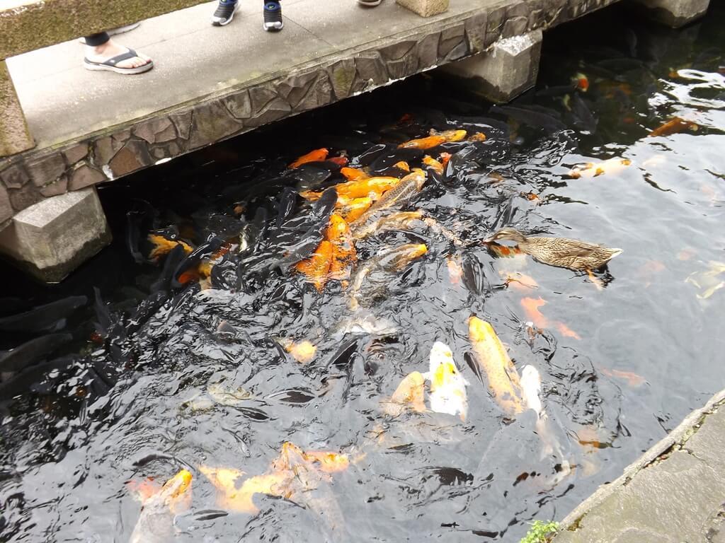 壽山巖觀音寺的圖片:水池內有許多體形碩大的錦鯉及吳郭魚
