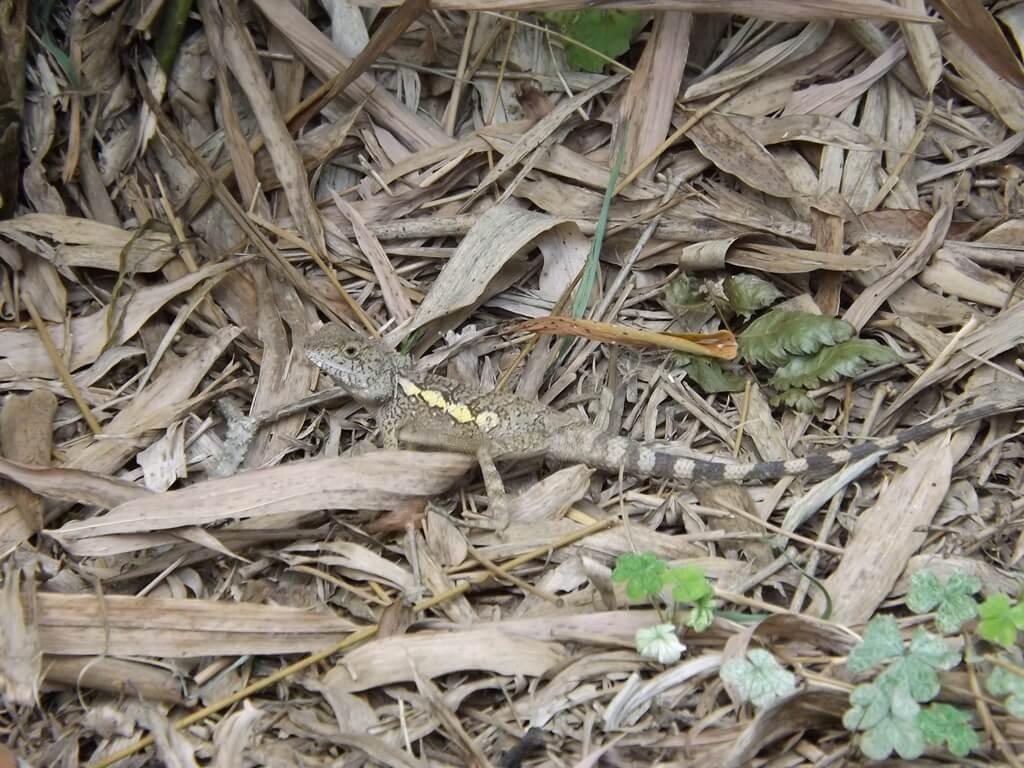 新竹青草湖的圖片:于飛島上的拍到的蜥蜴