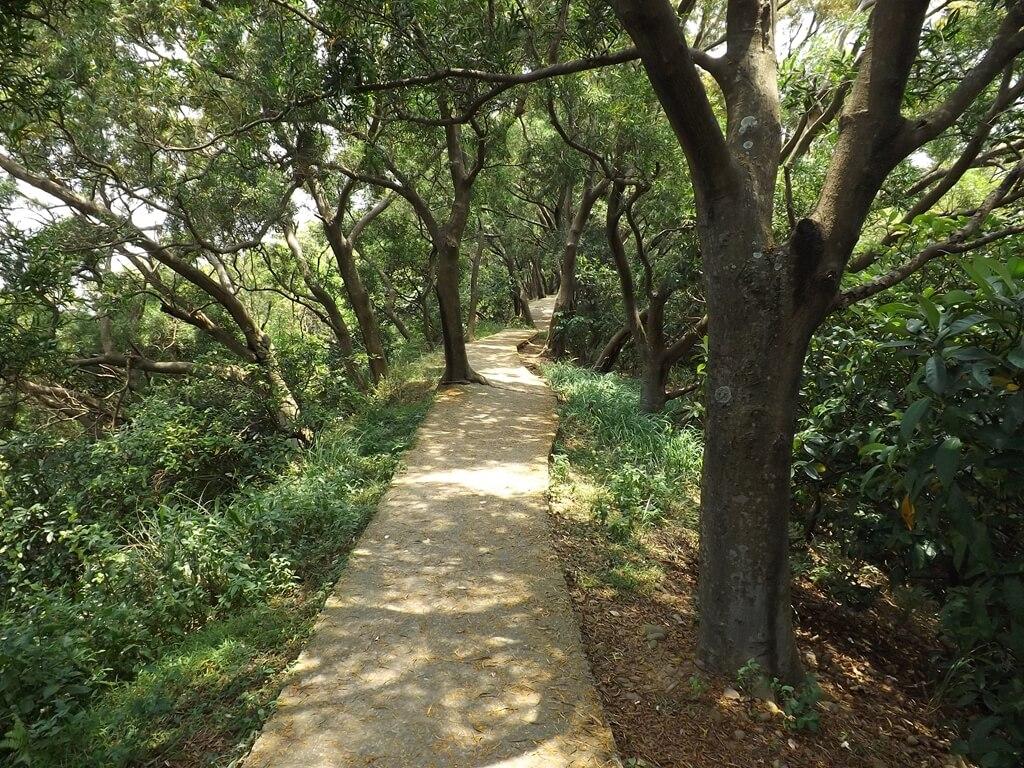 五酒桶山步道的圖片:水泥步道巧妙避開一棵樹