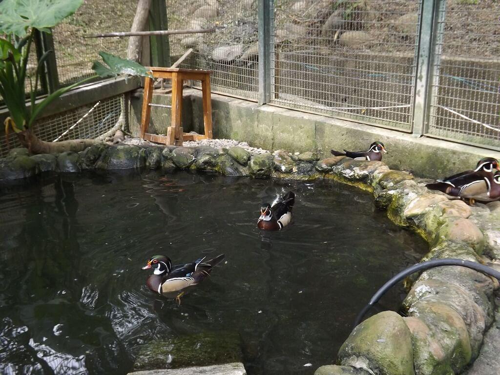森林鳥花園的圖片:池裡的鴛鴦
