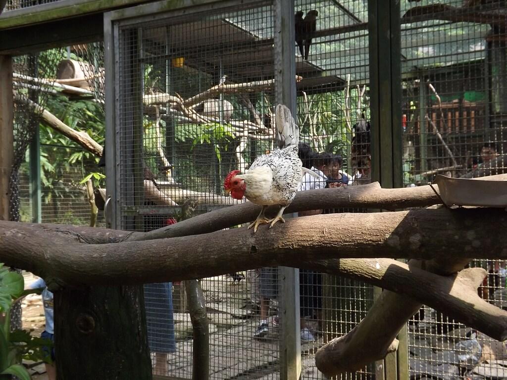 森林鳥花園的圖片:樹枝上的母雞