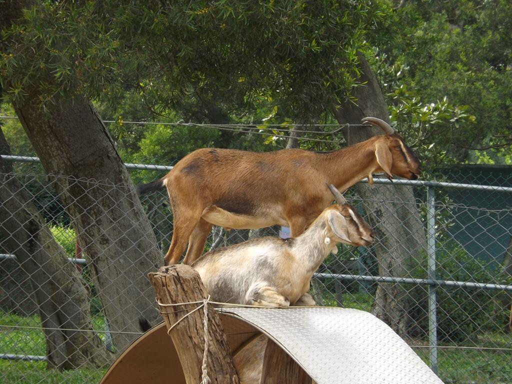 小叮噹科學主題樂園的圖片:高台上的努比亞山羊