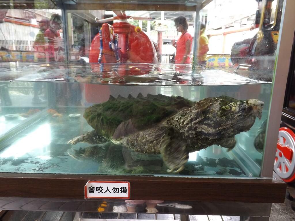 內灣老街的圖片:水缸內的巨型鱷龜