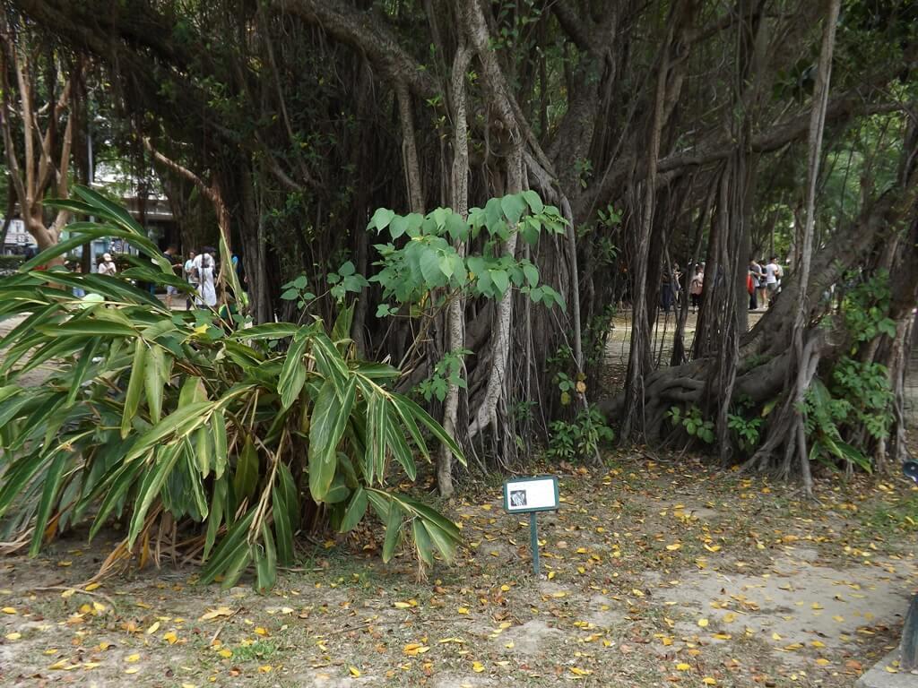 大安森林公園的圖片:斑葉月桃