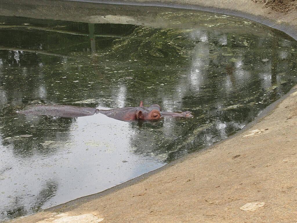 六福村主題遊樂園的圖片:泡在水裡露出眼睛鼻子耳朵的河馬