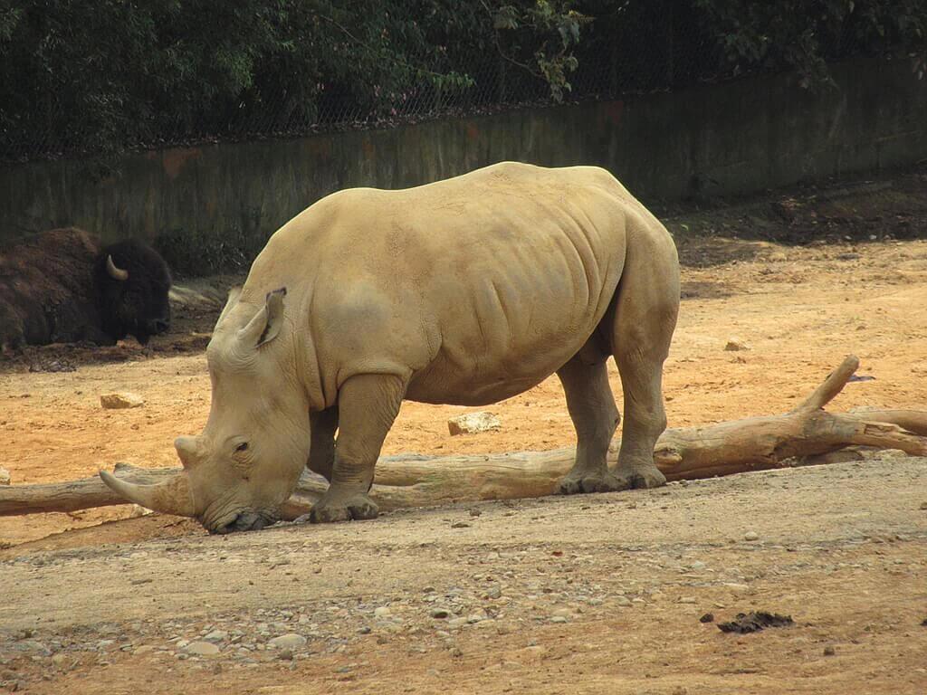 六福村主題遊樂園的圖片:一隻白犀牛