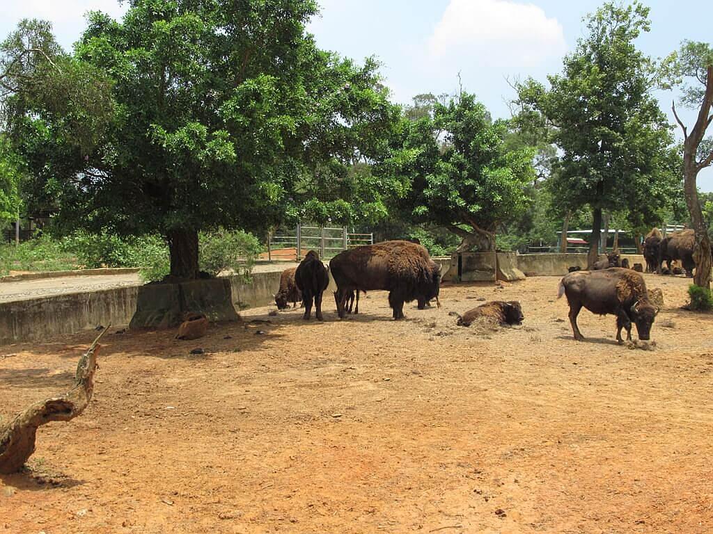 六福村主題遊樂園的圖片:很多隻悠閒的美洲野牛