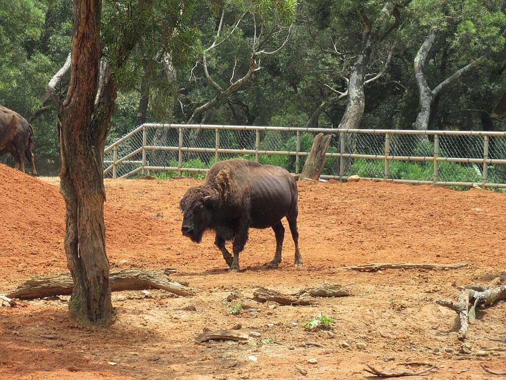 六福村主題遊樂園的圖片:獨立一隻美洲野牛
