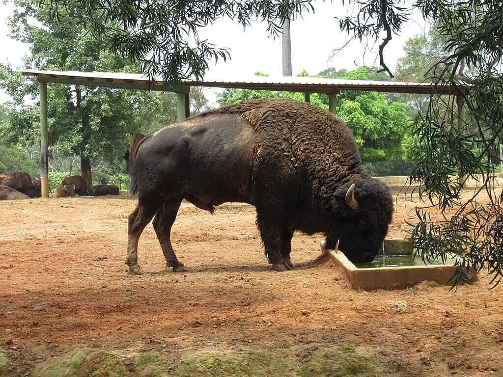 六福村主題遊樂園的圖片:美洲野牛正在喝水