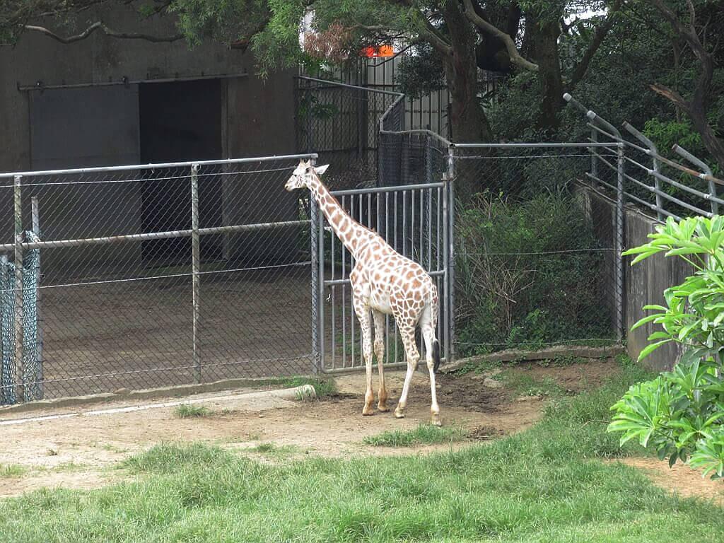 六福村主題遊樂園的圖片:顏色比較白的長頸鹿