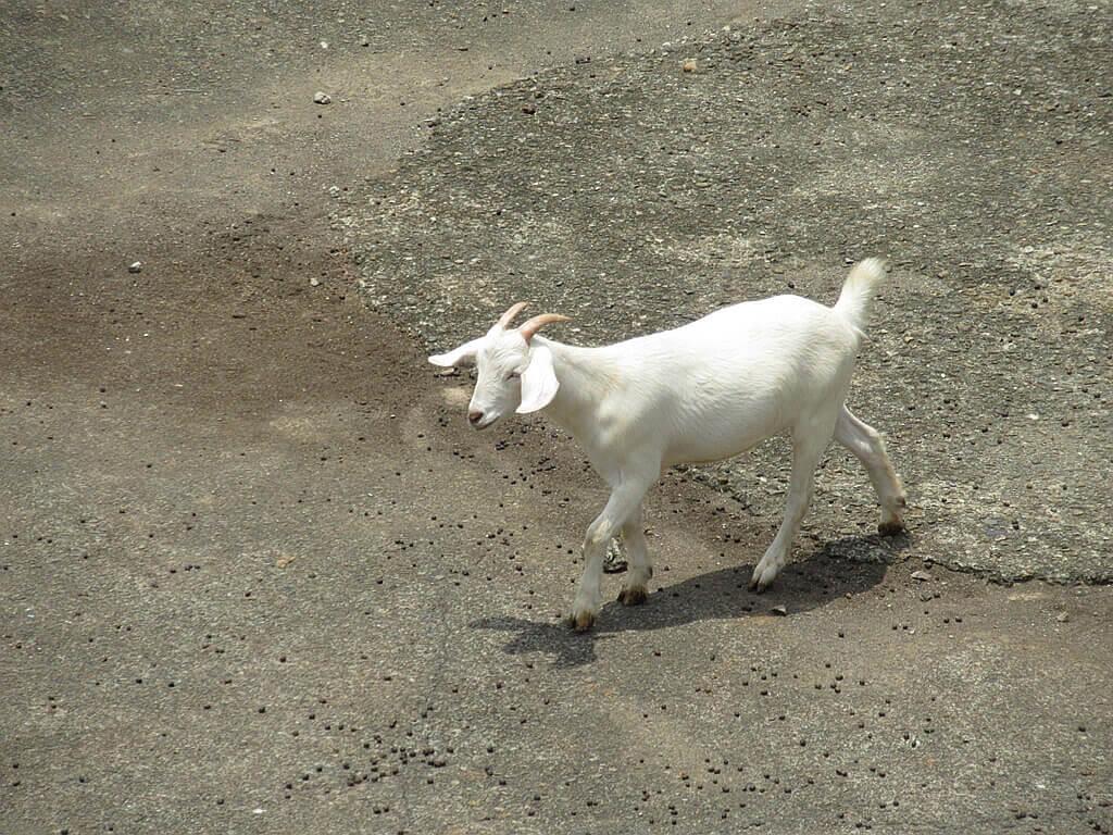 六福村主題遊樂園的圖片:蒸氣火車站下方的安哥拉山羊