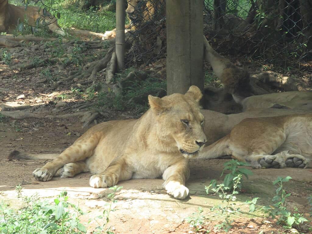 六福村主題遊樂園的圖片:躺臥在樹下的母獅子