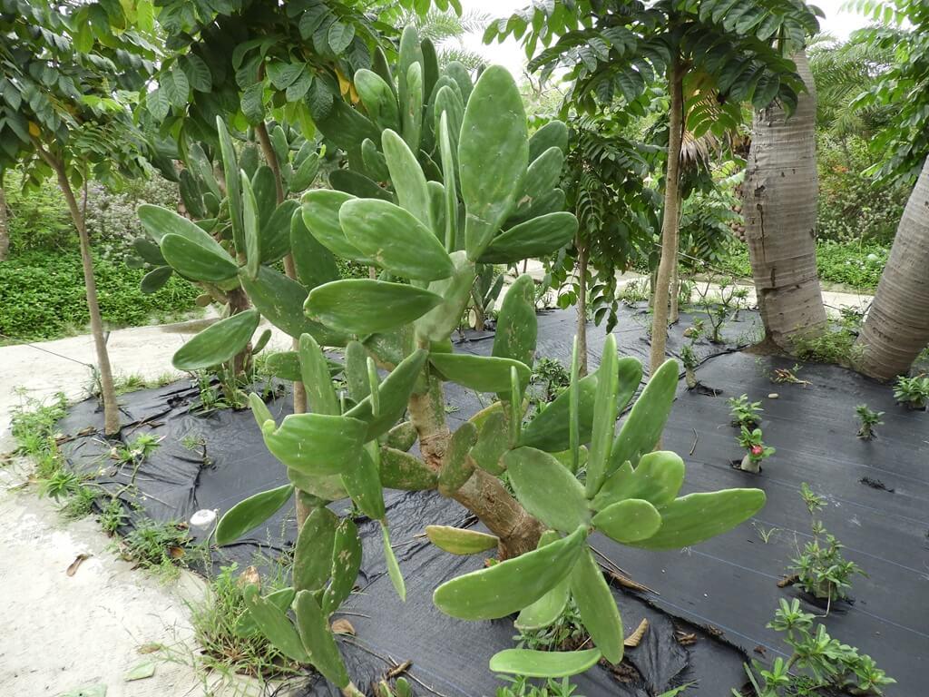 台灣地景花園 Taiwan Land Art Garden的圖片:仙人掌一棵