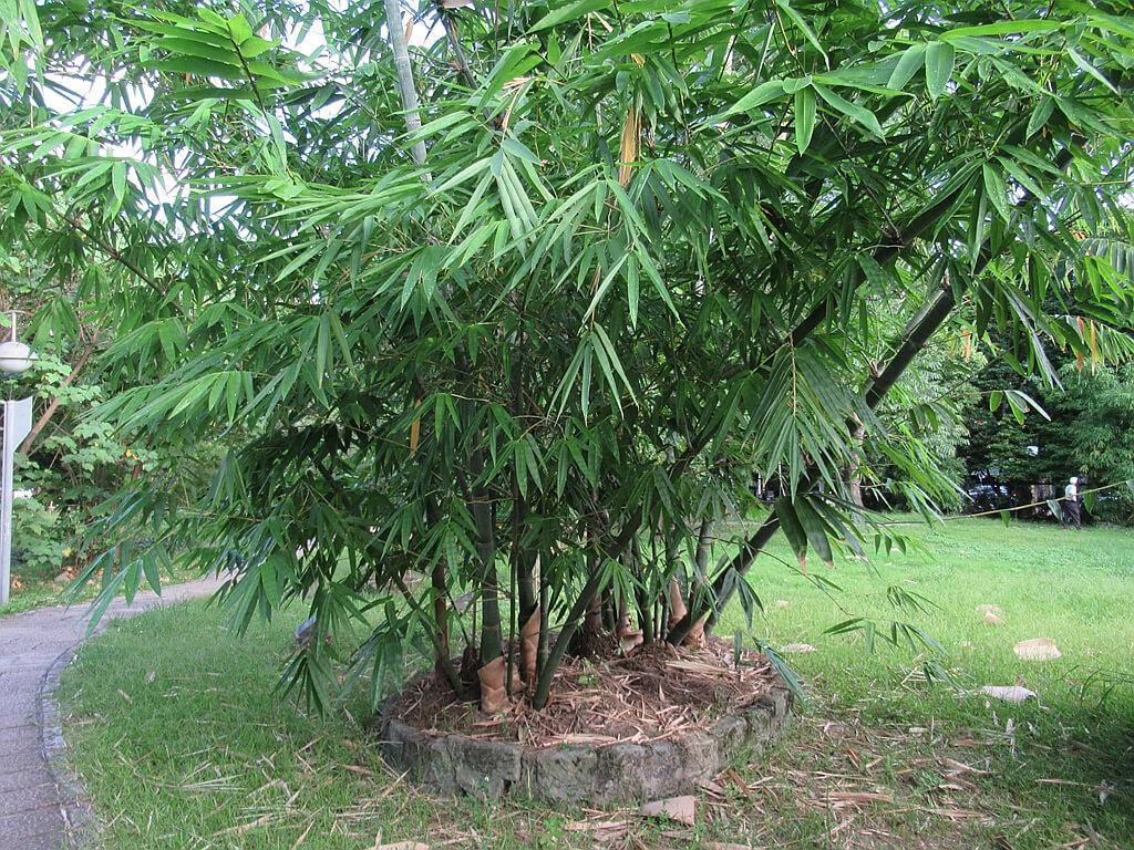 台北植物園的圖片:荖濃巨竹