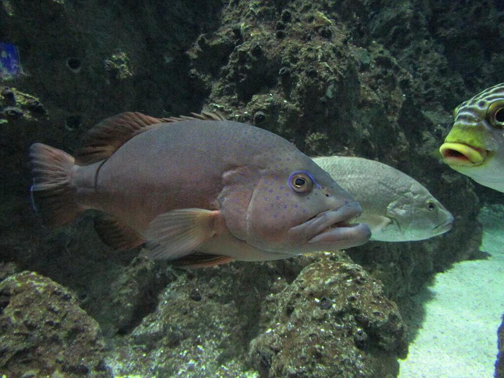 花蓮遠雄海洋公園的圖片:咖啡色的這條是斑點九刺鮨